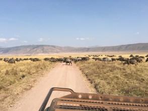 Bøffel på veien