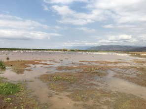 Pelikaner i Manyara