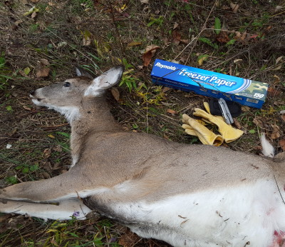 Roadkilled doe with butchering materials