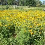 Pollinator Habitat 2 Year 2 Conservation Yankton Benedictines Sacred Heart Monastery Sisters Nuns