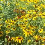Pollinator Habitat 4 Year 2 Conservation Yankton Benedictines Sacred Heart Monastery Sisters Nuns
