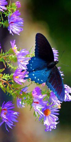 Papillon 95