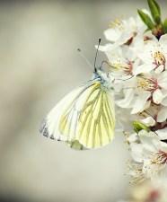 Papillon 86