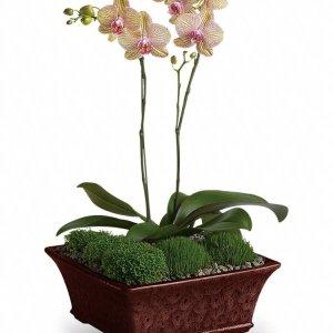Divine-Orchid