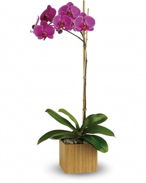 Imperial-Purple-Orchid