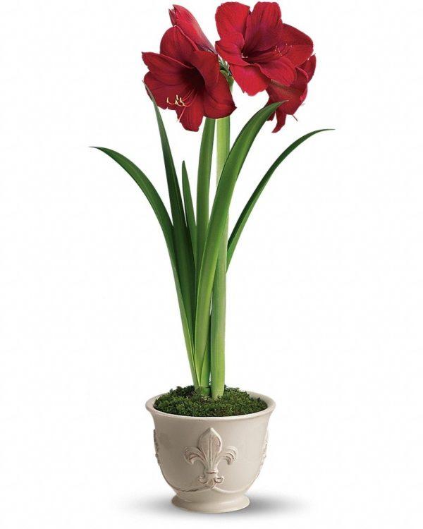 Merry Amaryllis Plant Yara Flowers
