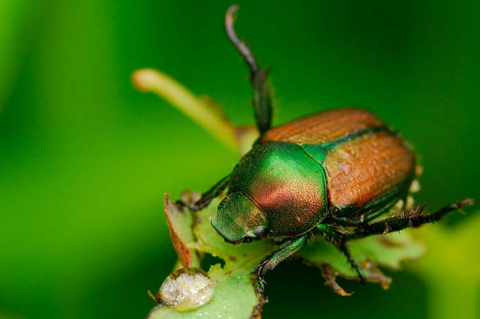 Underground pests - Japanese Beetle