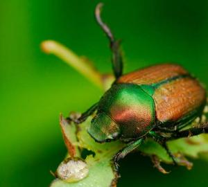 Underground pests - Japanese Beetle