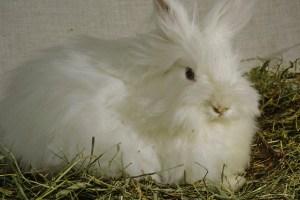 Angora kanin