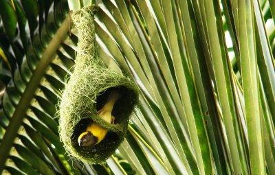 baya nest