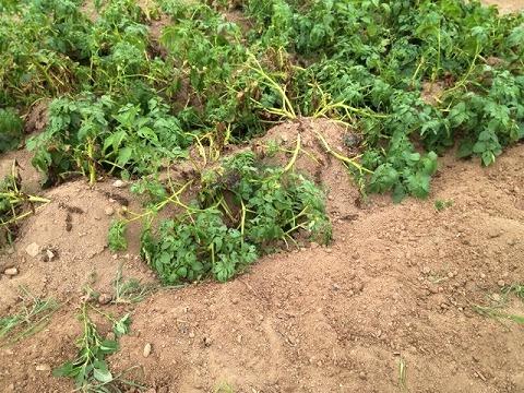 ジャガイモの作り方 ジャガイモの後には何を植える?