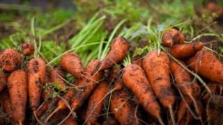 野菜の作り方 ニンジンの作り方