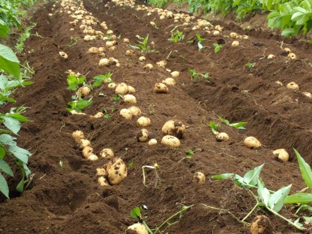 ジャガイモの作り方 ジャガイモの後には何を植える