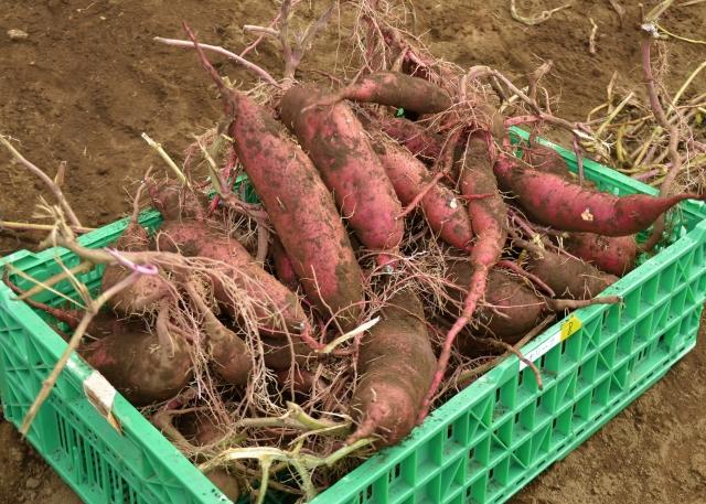 サツマイモの栽培方法!家庭菜園やプランターでもできる簡単美味しい作り方!