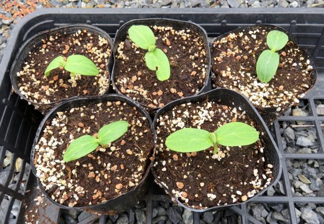 野菜の苗の見分け方選び方