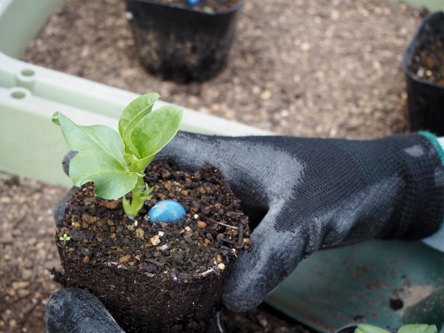 苗の植え付けの方法!失敗しない時間帯やポイントを教えます!