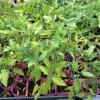 野菜の苗の選び方