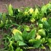 ホウレン草の作り方 ホウレン草の病気