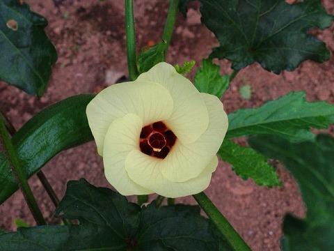 オクラの栽培方法 オクラの花