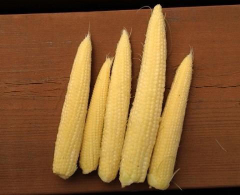 トウモロコシの栽培方法 ヤングコーン