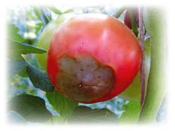 尻腐れ病が発生したトマトの果実の画像
