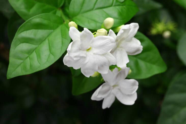 ジャスミン茶に使用するマツリカの花