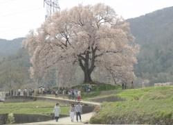 2017.4.14 韮崎市神山町わに塚さくら
