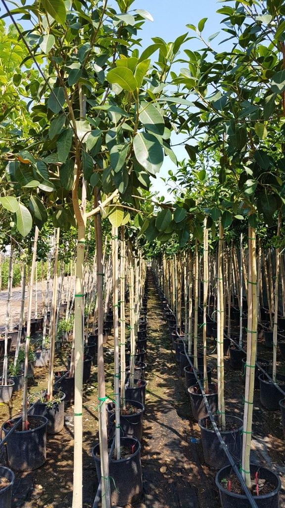 استرالي - Ficus australis