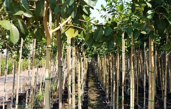 استرالي - Çin Madağaşkar Badem Ağacı