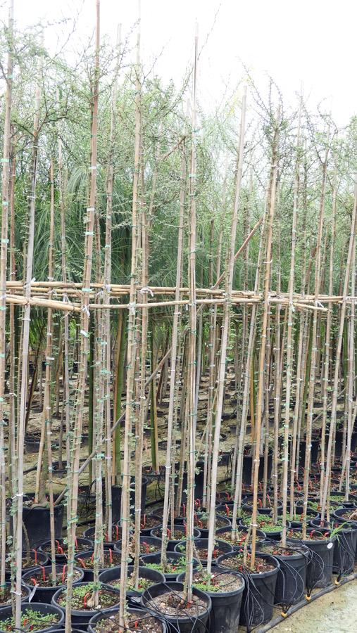 Acacia tortilis P36 AKA S 06008 1 - şemsiye diken akasya