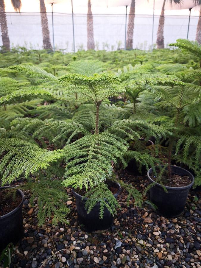 Araucaria ARU S 01004 P21 - Arakorya