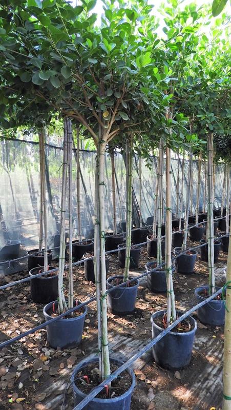 Ficus panda - فيكس باندا