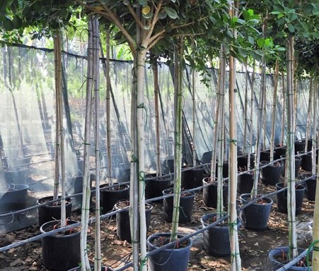 Ficus panda - All Trees