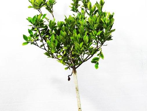 Gardenia GAR S 01006 - Arabian jasmine