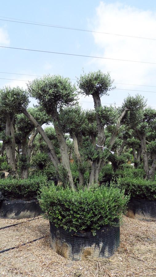 Olea-Europaea – ZET-S-01002-4