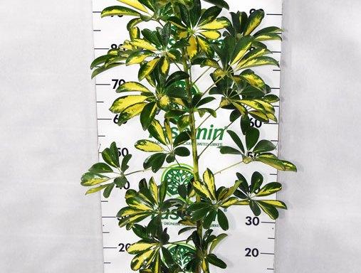 Schefflera arboriecola