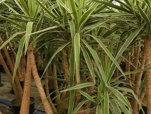 yucca YUK S 01014 - Chlorophytum comosum