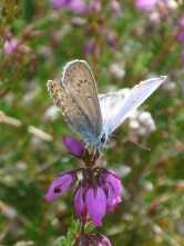 silver-studded-blue-yateley-common