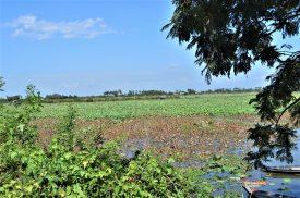 A lotus farm in Cambodia