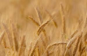 《小麦の生産量》都道府県別ランキング【2018年度版】