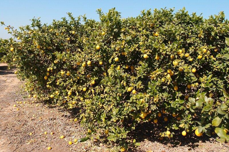 Лимонный сад