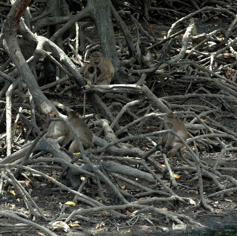 Гиббоны в мангровых зарослях