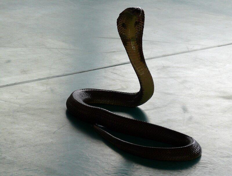 Кобра, змеиное шоу на Пхукете