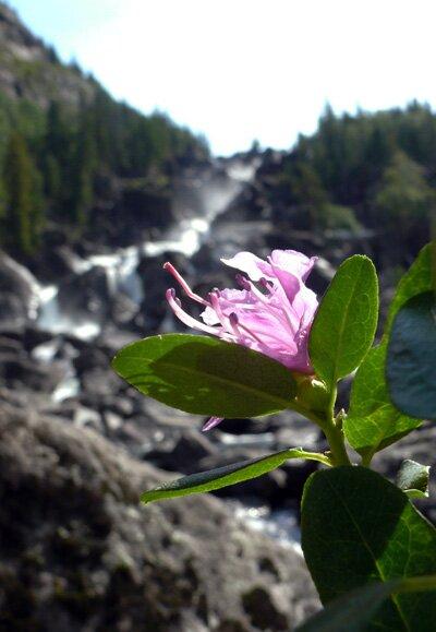 Цветок маральника в горах Алтая