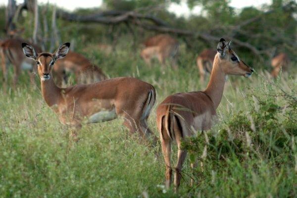 антилопа импала