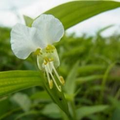 ツユクサ(白花)