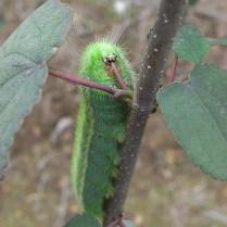 ヒメヤママユの幼虫