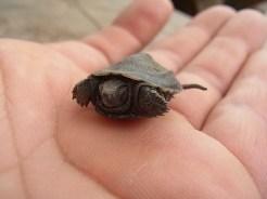 クサガメの赤ちゃん