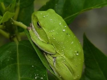 シュレーゲルアオガエル(雌)