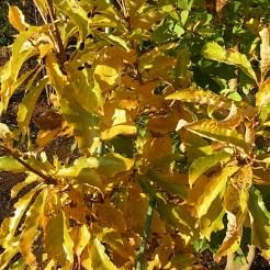 オウゴンカシワの黄葉